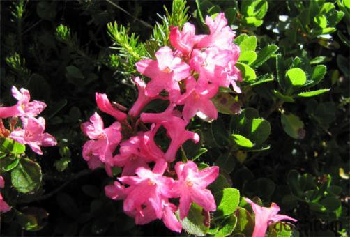 Almrausch - Alpenrose