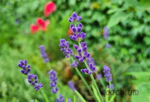 Lavendel Blüten bio