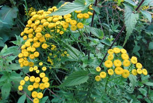 Rainfarn - Blüten und Kraut