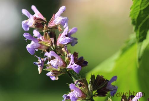 Salbei Blüten